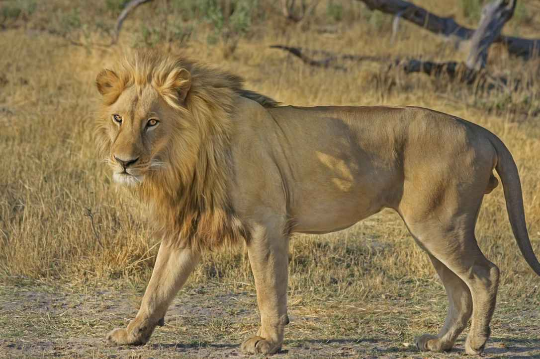 lion-wildcat-safari-africa-47036.jpeg