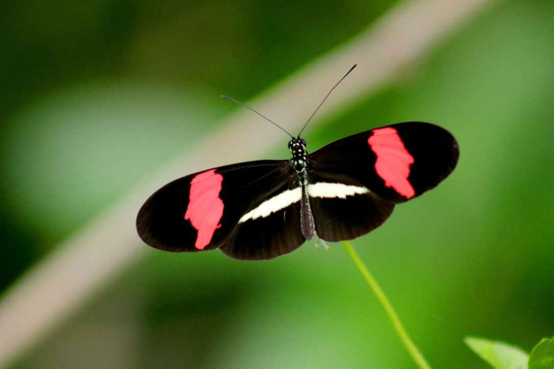 black red and white butterfly in closeup photo