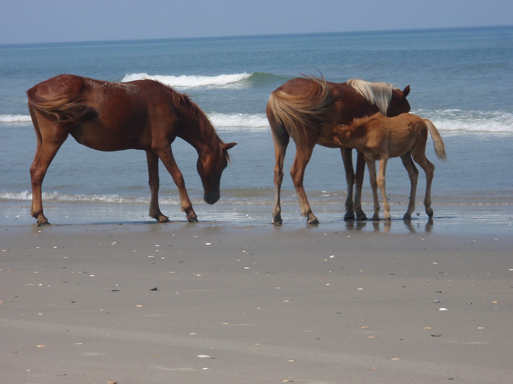 horses on beach outerbanks